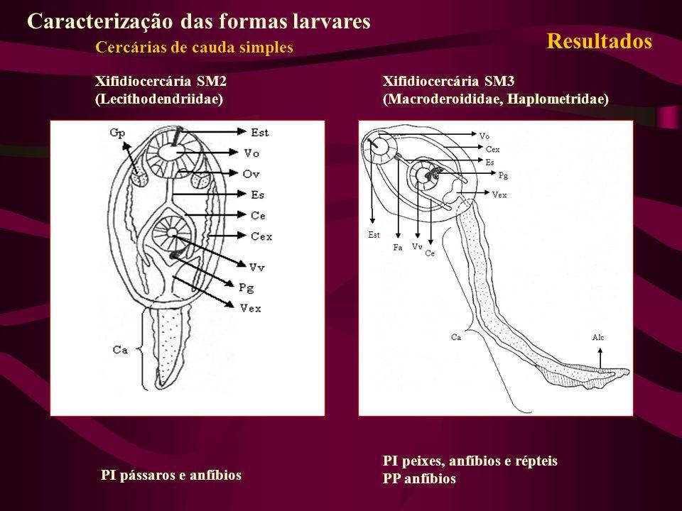 Xifidiocercária SM2 (Lecithodendriidae) Xifidiocercária SM3 (Macroderoididae, Haplometridae) PI pássaros e anfíbios PI peixes, anfíbios e répteis PP a