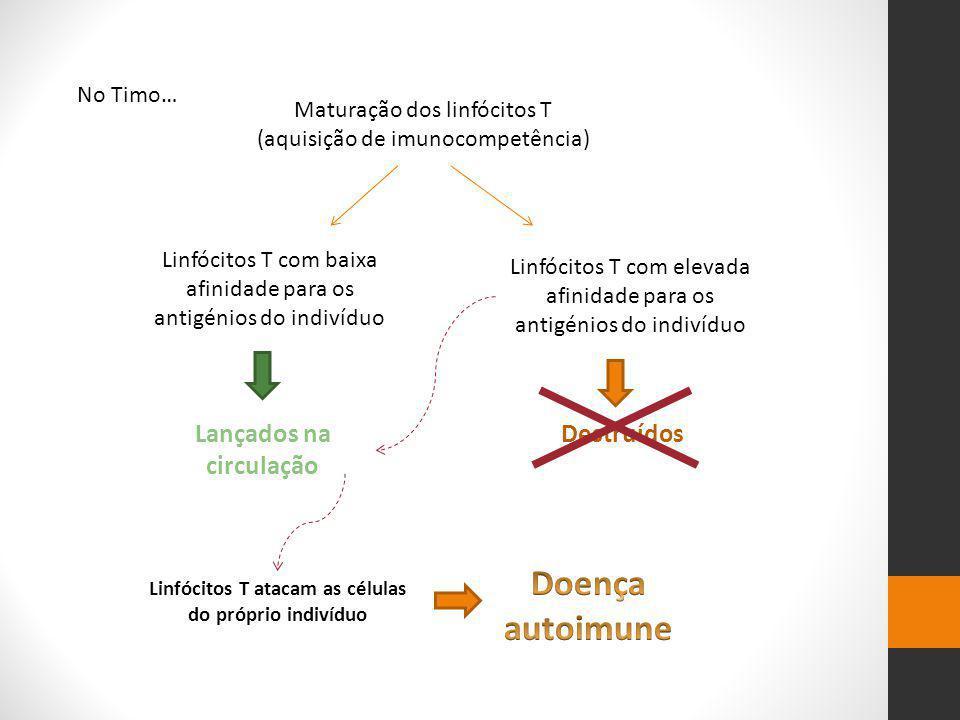 No Timo… Maturação dos linfócitos T (aquisição de imunocompetência) Linfócitos T com baixa afinidade para os antigénios do indivíduo Linfócitos T com elevada afinidade para os antigénios do indivíduo Lançados na circulação Destruídos Linfócitos T atacam as células do próprio indivíduo