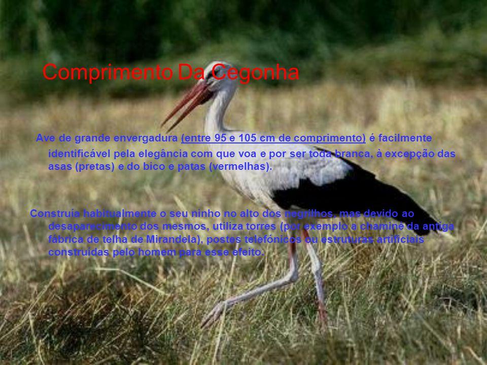 Comprimento Da Cegonha Ave de grande envergadura (entre 95 e 105 cm de comprimento) é facilmente identificável pela elegância com que voa e por ser toda branca, à excepção das asas (pretas) e do bico e patas (vermelhas).