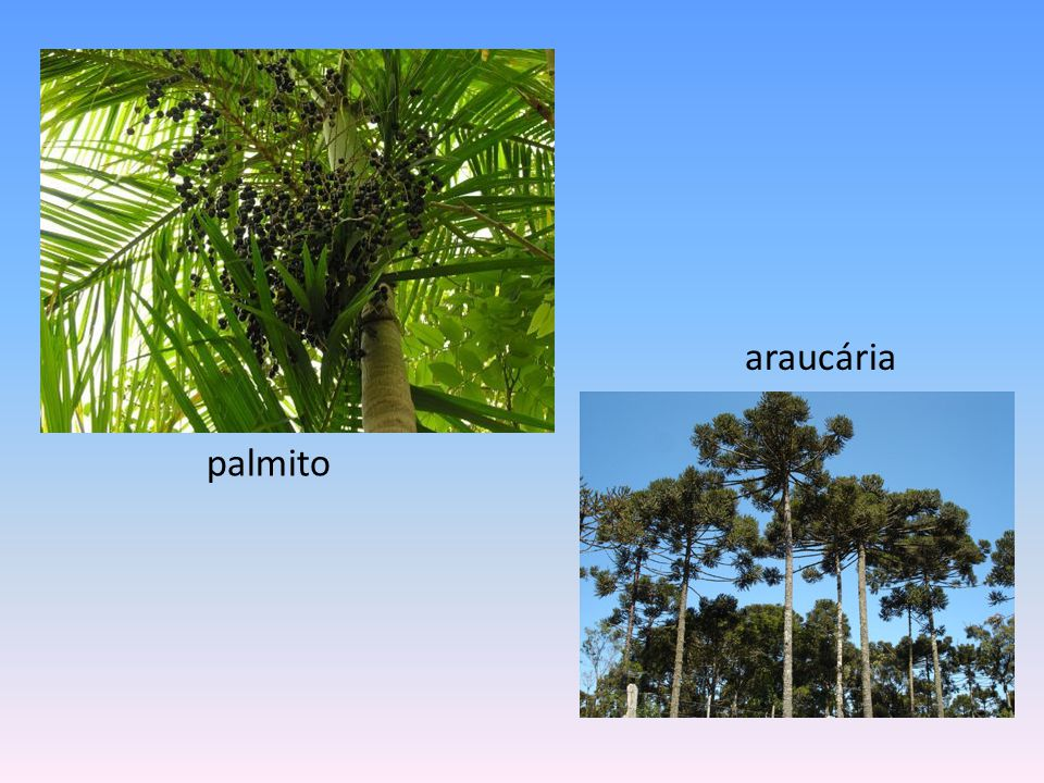 Jequitibá Rosa - maior árvore viva da Mata Atlântica Sementes do pau-brasil pau-brasil