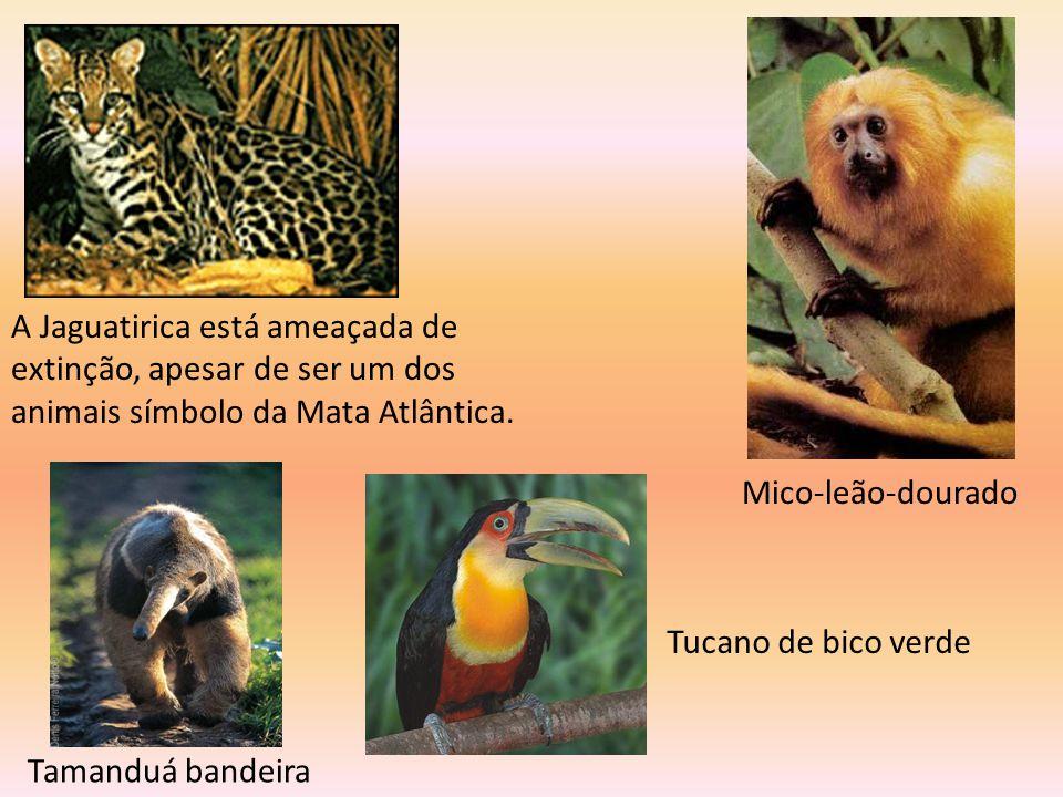 A Jaguatirica está ameaçada de extinção, apesar de ser um dos animais símbolo da Mata Atlântica.