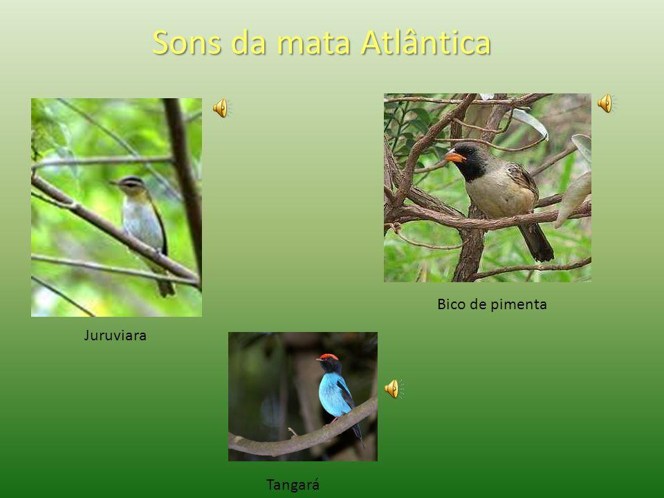 A Jaguatirica está ameaçada de extinção, apesar de ser um dos animais símbolo da Mata Atlântica. Mico-leão-dourado Tamanduá bandeira Tucano de bico ve