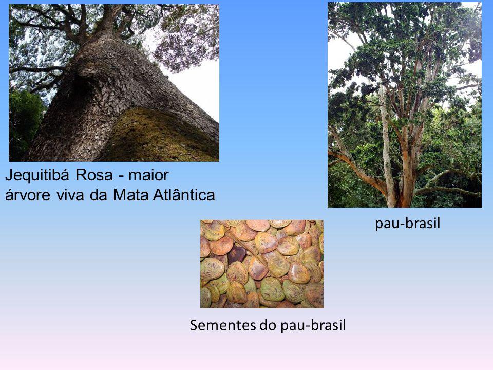 Flora Possui, ainda, cerca de 20 mil espécies de plantas. orquídea cactos bromélia