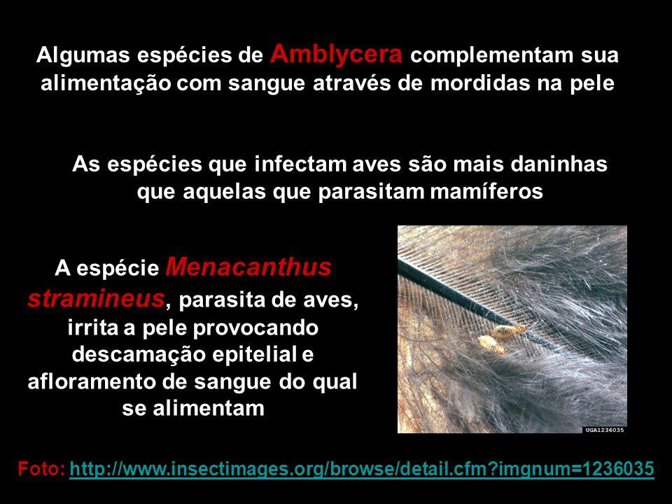 Algumas espécies de Amblycera complementam sua alimentação com sangue através de mordidas na pele As espécies que infectam aves são mais daninhas que