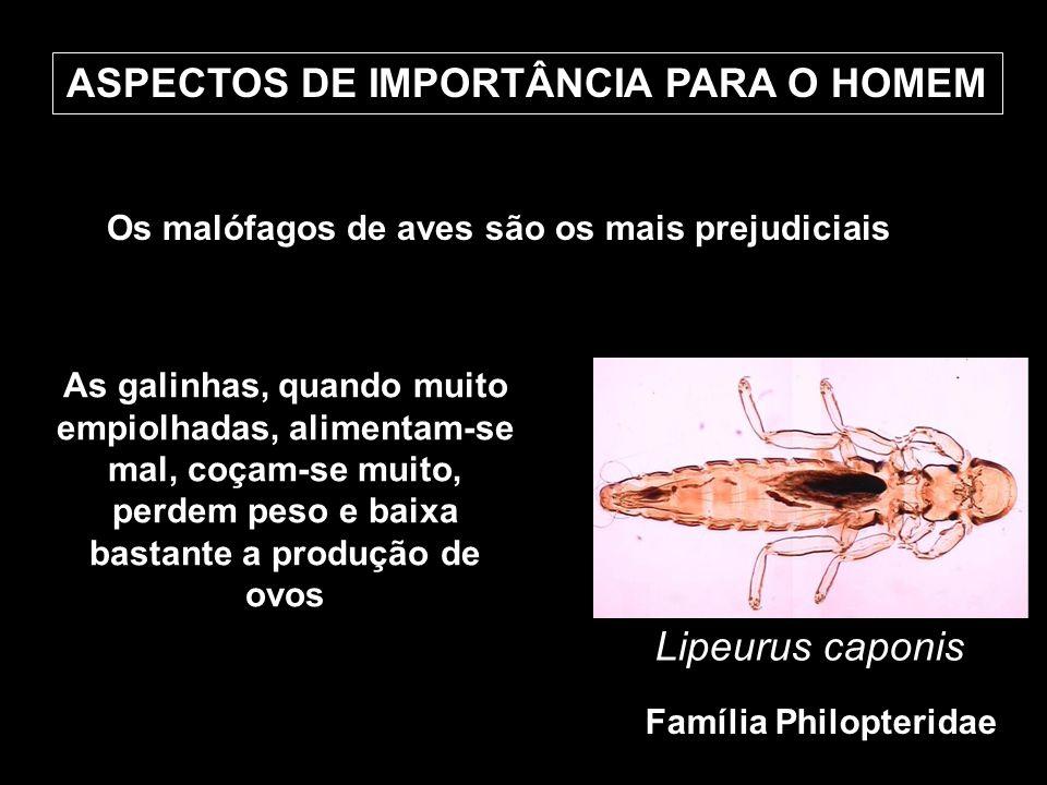 ASPECTOS DE IMPORTÂNCIA PARA O HOMEM Os malófagos de aves são os mais prejudiciais Lipeurus caponis Família Philopteridae As galinhas, quando muito em