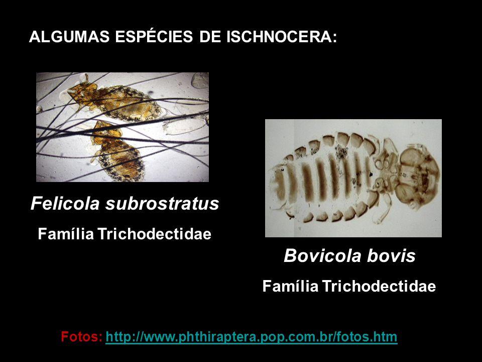 ALGUMAS ESPÉCIES DE ISCHNOCERA: Felicola subrostratus Família Trichodectidae Bovicola bovis Família Trichodectidae Fotos: http://www.phthiraptera.pop.