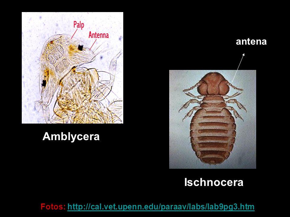 Amblycera Ischnocera antena Fotos: http://cal.vet.upenn.edu/paraav/labs/lab9pg3.htmhttp://cal.vet.upenn.edu/paraav/labs/lab9pg3.htm