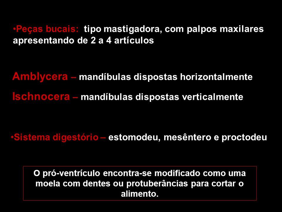 Peças bucais: tipo mastigadora, com palpos maxilares apresentando de 2 a 4 artículos Amblycera – mandíbulas dispostas horizontalmente Ischnocera – man