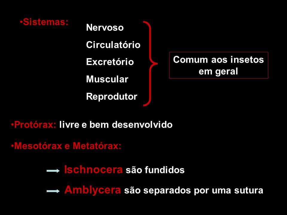 Sistemas: Nervoso Circulatório Excretório Muscular Reprodutor Comum aos insetos em geral Protórax: livre e bem desenvolvido Mesotórax e Metatórax: Isc