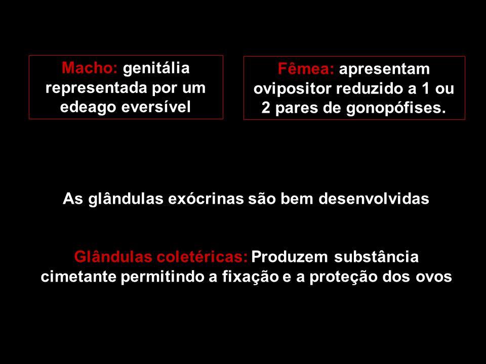 Macho: genitália representada por um edeago eversível Fêmea: apresentam ovipositor reduzido a 1 ou 2 pares de gonopófises. As glândulas exócrinas são