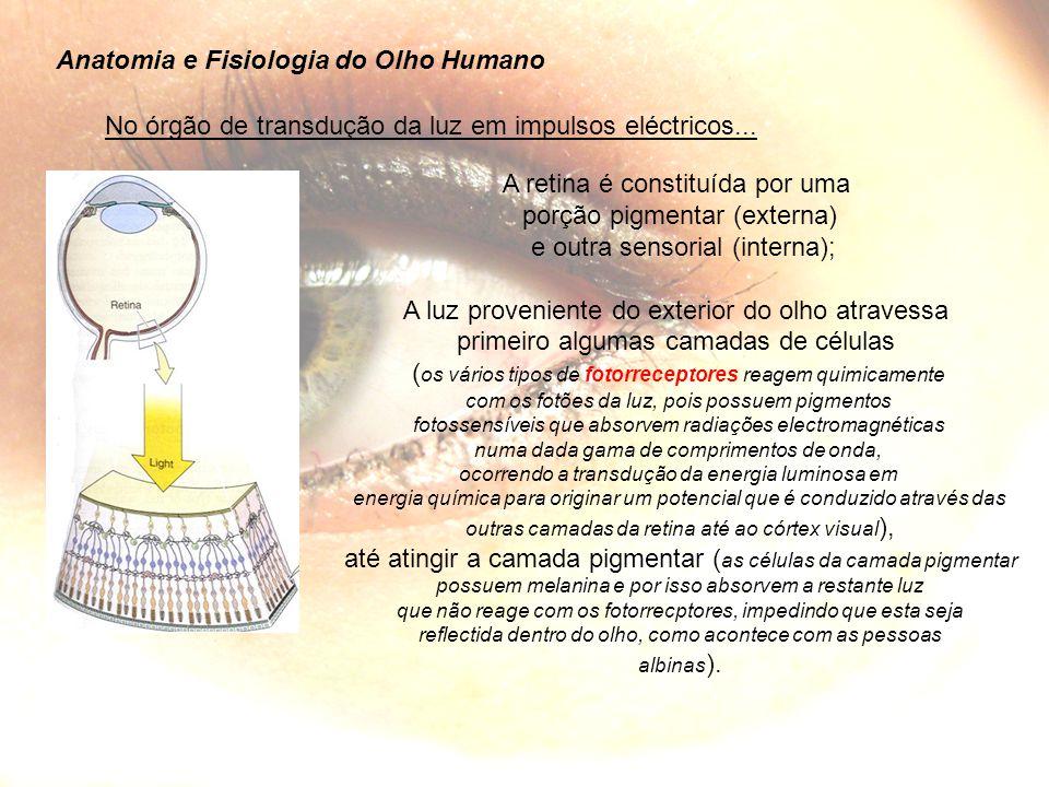 Anatomia e Fisiologia do Olho Humano A retina é constituída por uma porção pigmentar (externa) e outra sensorial (interna); A luz proveniente do exterior do olho atravessa primeiro algumas camadas de células ( os vários tipos de fotorreceptores reagem quimicamente com os fotões da luz, pois possuem pigmentos fotossensíveis que absorvem radiações electromagnéticas numa dada gama de comprimentos de onda, ocorrendo a transdução da energia luminosa em energia química para originar um potencial que é conduzido através das outras camadas da retina até ao córtex visual ), até atingir a camada pigmentar ( as células da camada pigmentar possuem melanina e por isso absorvem a restante luz que não reage com os fotorrecptores, impedindo que esta seja reflectida dentro do olho, como acontece com as pessoas albinas ).