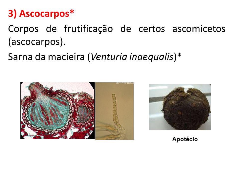 3) Ascocarpos* Corpos de frutificação de certos ascomicetos (ascocarpos). Sarna da macieira (Venturia inaequalis)* Apotécio