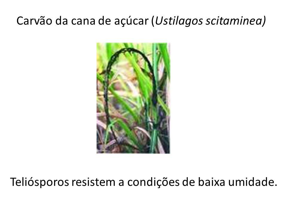 Carvão da cana de açúcar (Ustilagos scitaminea) Teliósporos resistem a condições de baixa umidade.