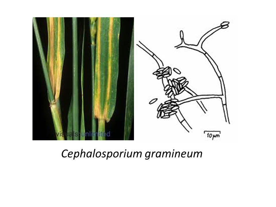 Cephalosporium gramineum