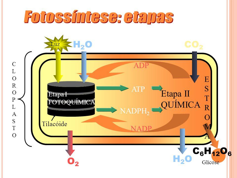 CLOROPLASTOCLOROPLASTO Tilacóide Etapa II QUÍMICA Etapa I FOTOQUÍMICA Luz H2OH2O CO 2 ADP NADP H2OH2O C 6 H 12 O 6 ATP NADPH 2 O2O2 ESTROMAESTROMA Glicose