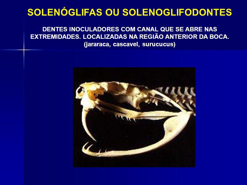 PROTERÓGLIFAS OU PROTEROGLIFODONTES PRESAS LOCALIZADAS NA REGIÃO ANTERIOR DA BOCA COM CANAL CENTRAL (corais venenosas, najas)