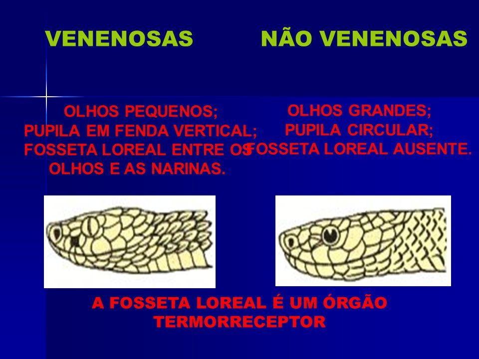 VENENOSASNÃO VENENOSAS CABEÇA CHATA; TRIANGULAR; BEM DESTACADA. CABEÇA ESTREITA; ALONGADA; MAL DESTACADA.
