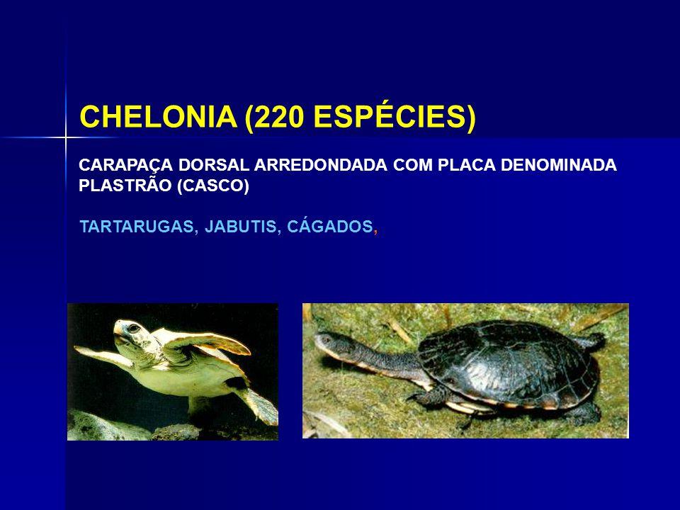 CHELONIA (220 ESPÉCIES) CARAPAÇA DORSAL ARREDONDADA COM PLACA DENOMINADA PLASTRÃO (CASCO) TARTARUGAS, JABUTIS, CÁGADOS,