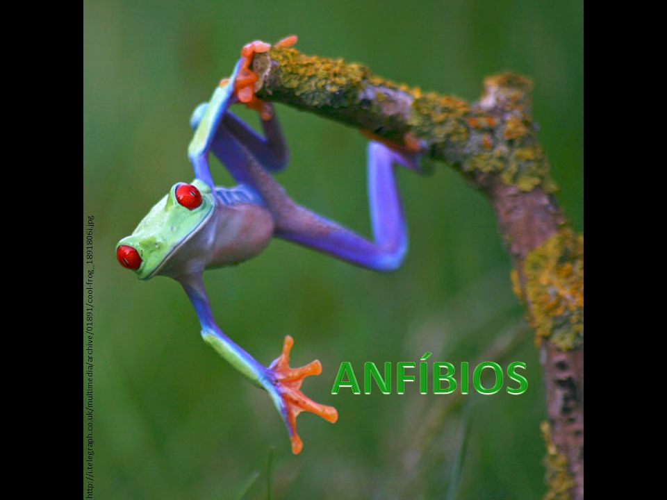Atualmente são: 1- Sapos Créditos das imagens: 1 – http://images.nationalgeographic.com/wpf/media-live/photos/000/004/cache/amazon-horned-frog_443_600x450.jpg