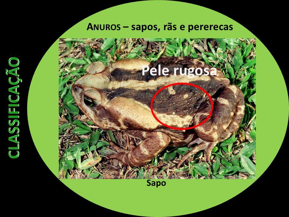 A NUROS – sapos, rãs e pererecas Sapo Pele rugosa http://1.bp.blogspot.com/_LzmWMOfc4Cc/S-GyH1KqTAI/AAAAAAAAAVo/5aZdmHS1IJQ/s1600/Sapo-cururu+%282%29.