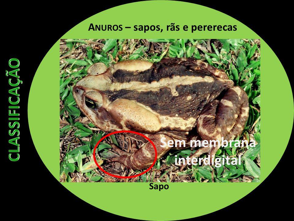 A NUROS – sapos, rãs e pererecas Sapo Sem membrana interdigital