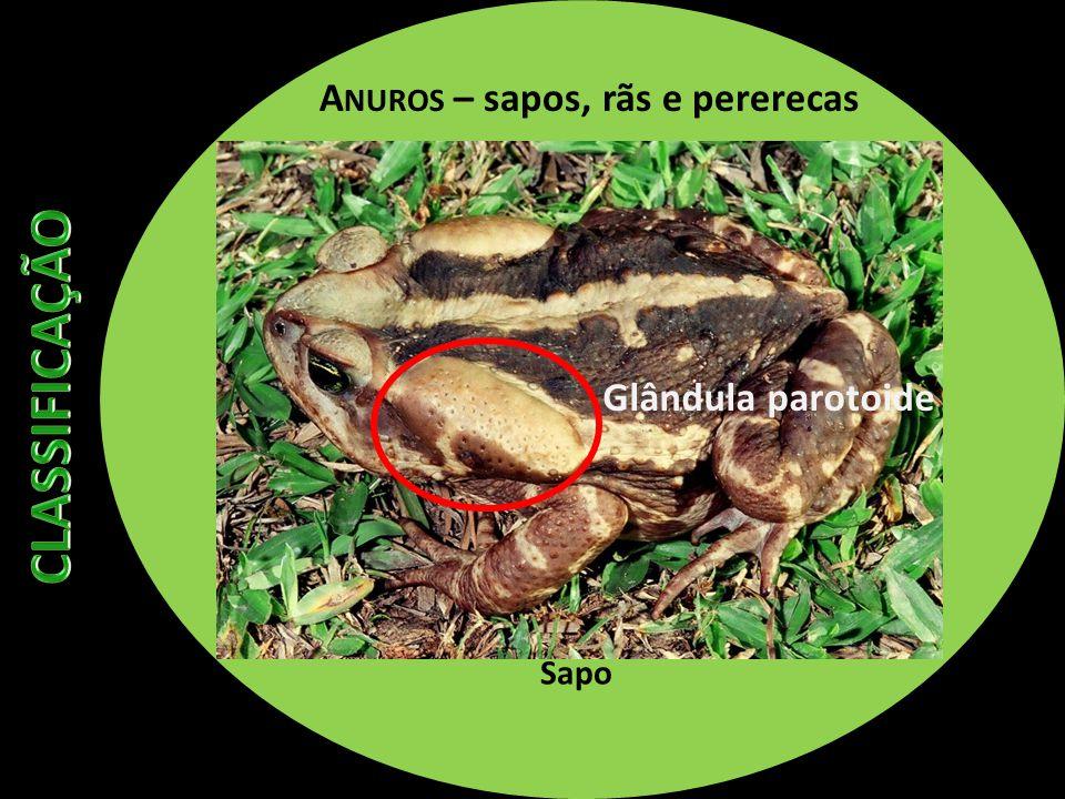 A NUROS – sapos, rãs e pererecas Sapo Glândula parotoide