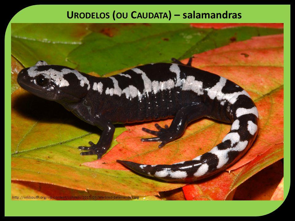 U RODELOS ( OU C AUDATA ) – salamandras http://wildsouth.org/wp-content/uploads/2013/03/Marbled-Salamander.jpg