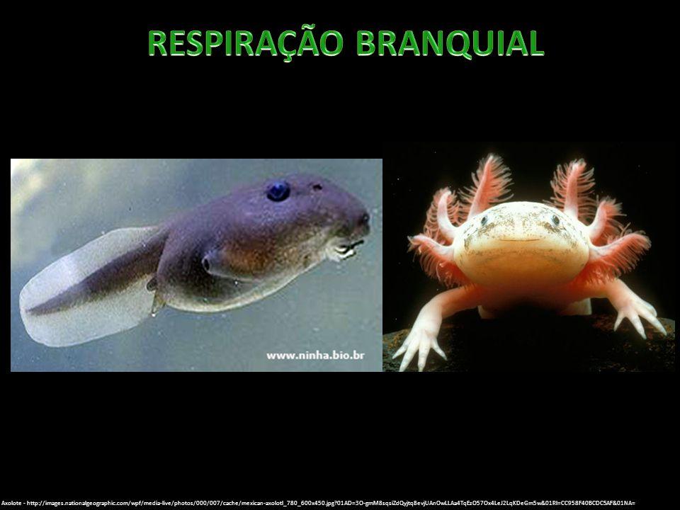 Axolote - http://images.nationalgeographic.com/wpf/media-live/photos/000/007/cache/mexican-axolotl_780_600x450.jpg?01AD=3O-gmM8sqsiZdQyjtq8evjUAnOwLLA