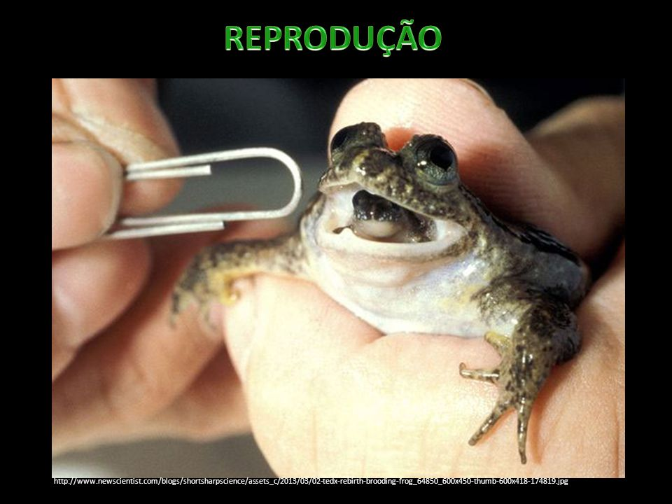 http://www.newscientist.com/blogs/shortsharpscience/assets_c/2013/03/02-tedx-rebirth-brooding-frog_64850_600x450-thumb-600x418-174819.jpg
