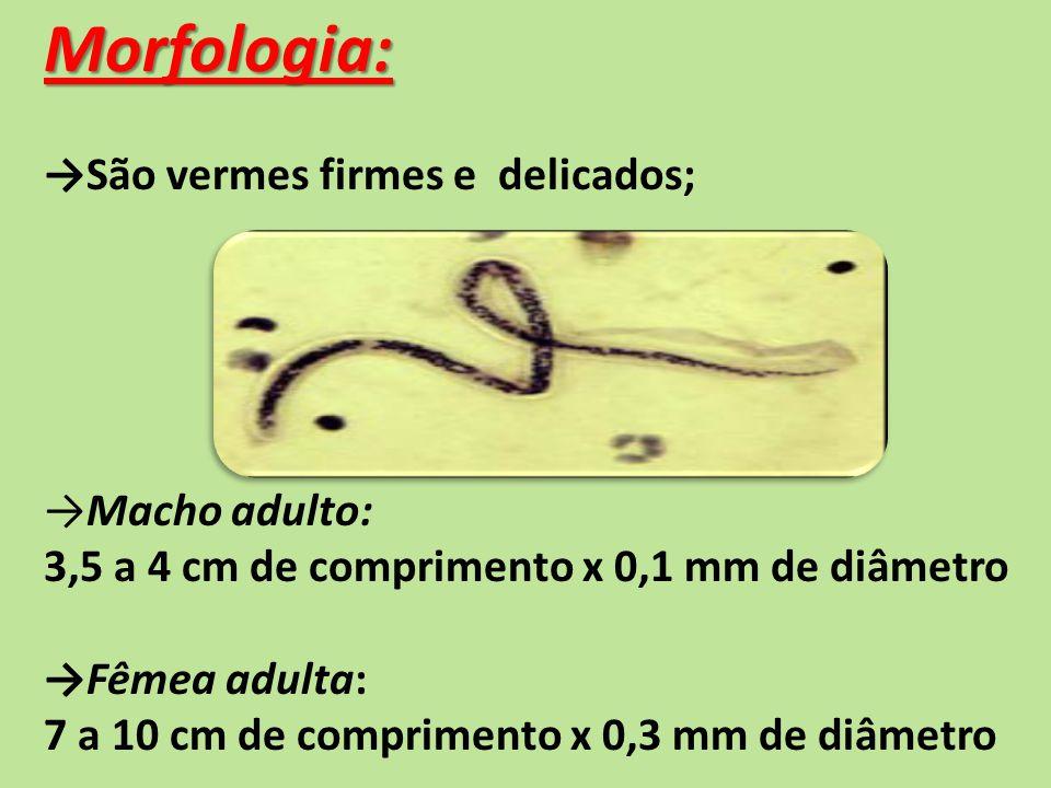 Morfologia: São vermes firmes e delicados; Macho adulto: 3,5 a 4 cm de comprimento x 0,1 mm de diâmetro Fêmea adulta: 7 a 10 cm de comprimento x 0,3 mm de diâmetro