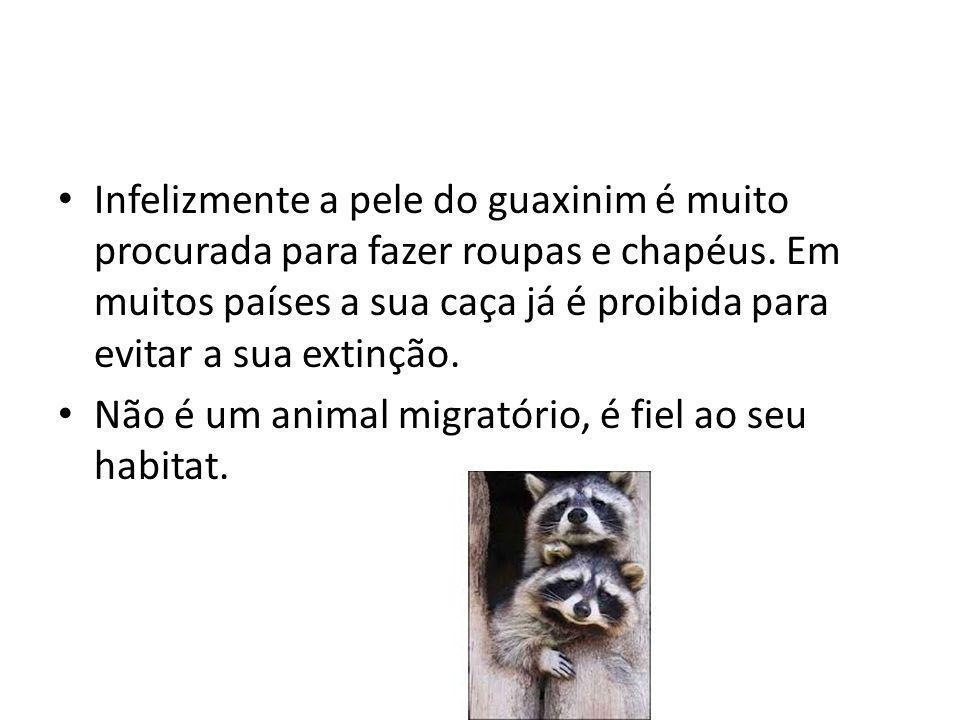 Infelizmente a pele do guaxinim é muito procurada para fazer roupas e chapéus. Em muitos países a sua caça já é proibida para evitar a sua extinção. N
