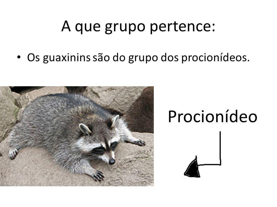 A que grupo pertence: Os guaxinins são do grupo dos procionídeos. Procionídeo