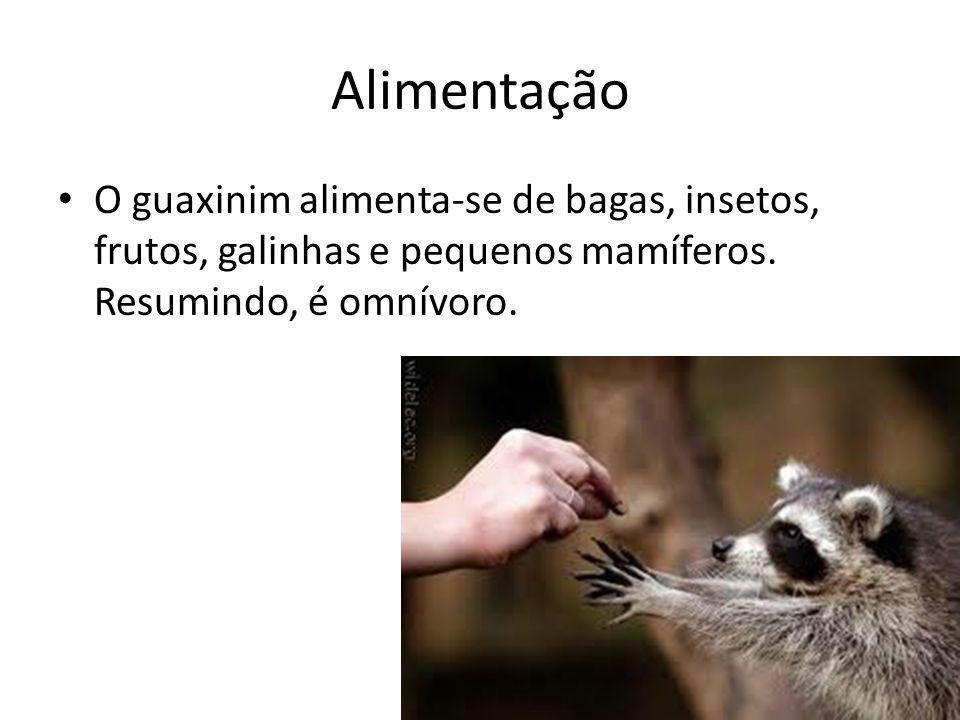 Alimentação O guaxinim alimenta-se de bagas, insetos, frutos, galinhas e pequenos mamíferos. Resumindo, é omnívoro.