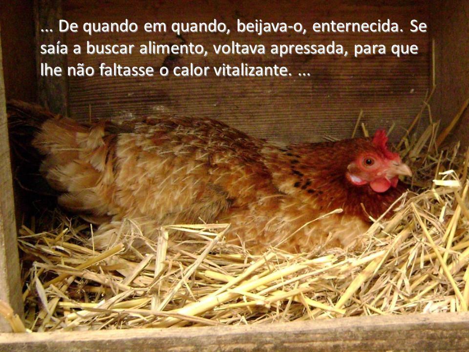 Gentil galinha, cheia de instintos maternais, encontrou um ovo de regular tamanho e espalmou as asas sobre ele, aquecendo-o carinhosamente.... Gentil