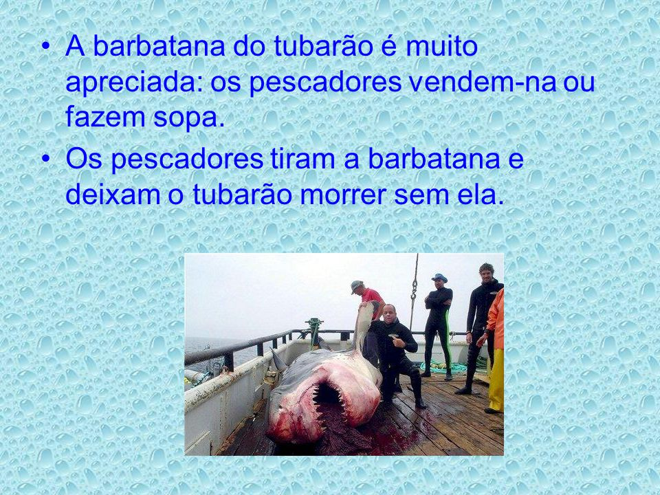 A barbatana do tubarão é muito apreciada: os pescadores vendem-na ou fazem sopa. Os pescadores tiram a barbatana e deixam o tubarão morrer sem ela.