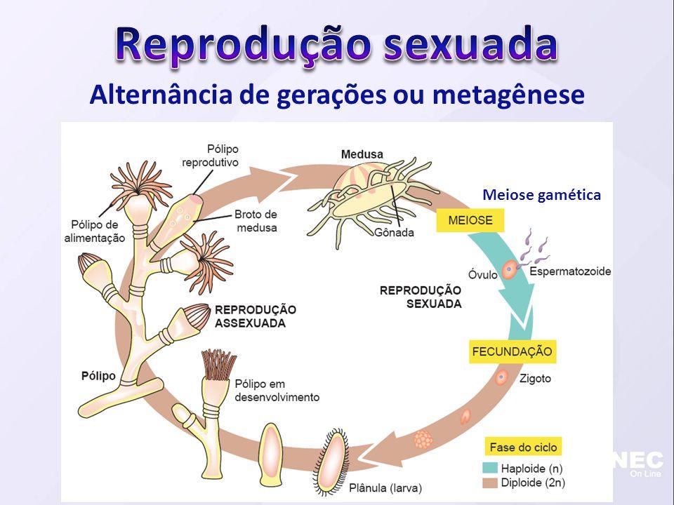 Alternância de gerações ou metagênese Meiose gamética