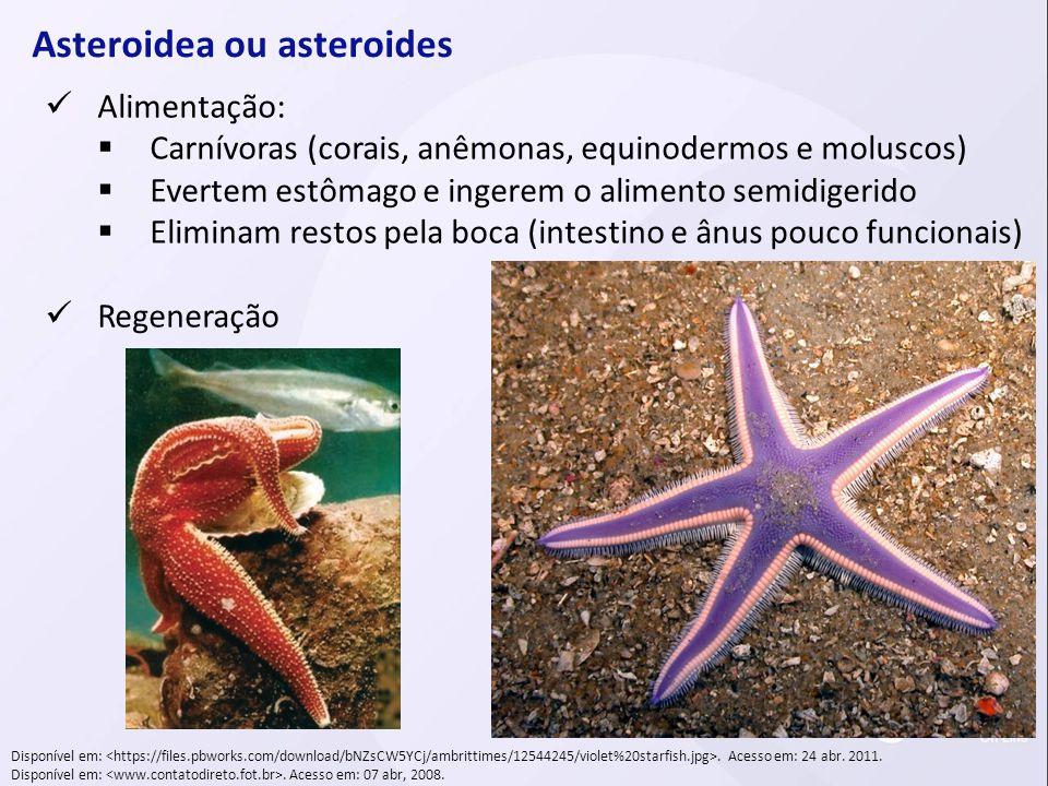 Asteroidea ou asteroides Alimentação: Carnívoras (corais, anêmonas, equinodermos e moluscos) Evertem estômago e ingerem o alimento semidigerido Elimin