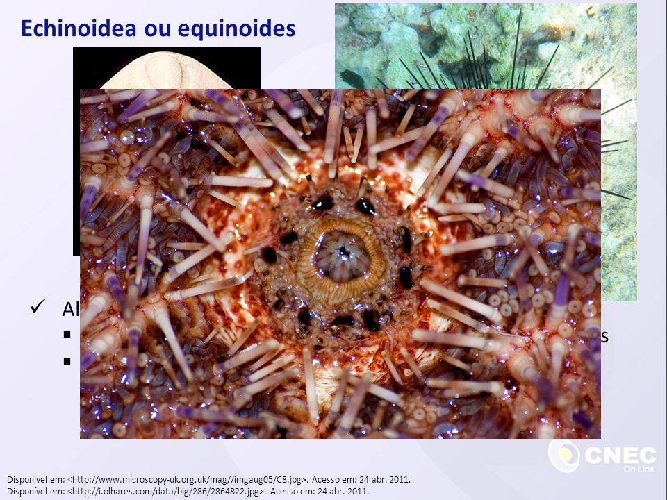 Echinoidea ou equinoides Alimentação: Algas marinhas, pequenos animais ou detritros orgânicos Lanterna-de-aristóteles Disponível em:.