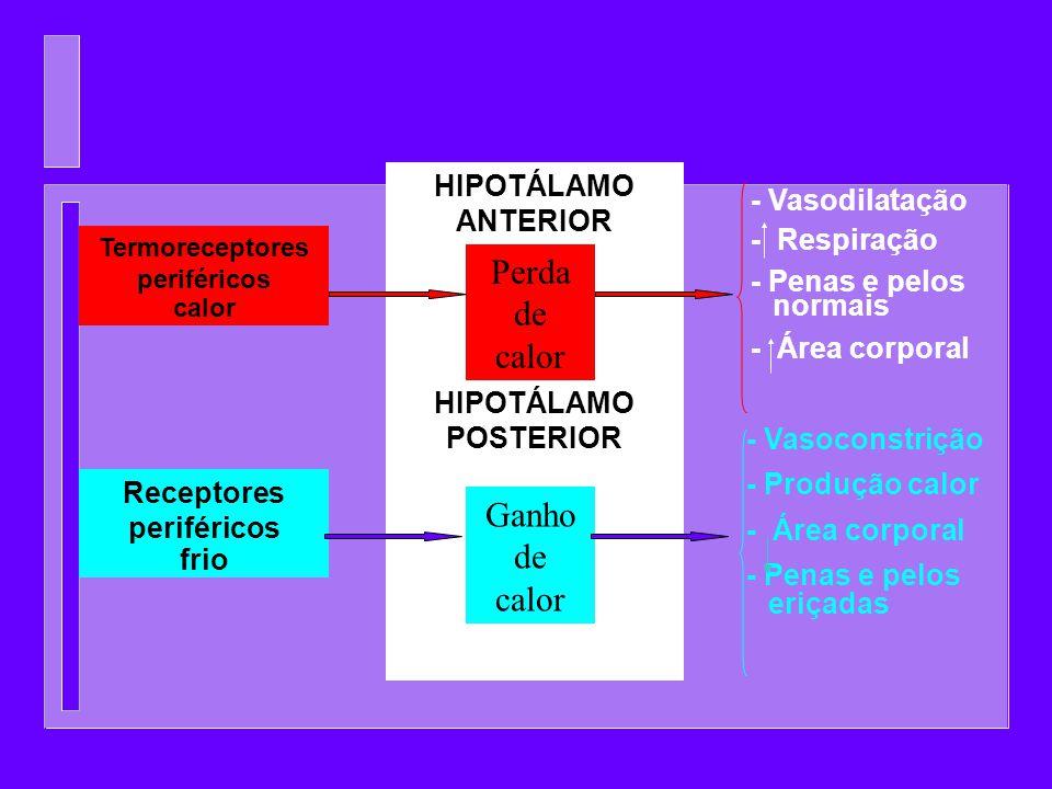 - Vasoconstrição - Produção calor - Área corporal - Penas e pelos eriçadas Termoreceptores periféricos calor Receptores periféricos frio HIPOTÁLAMO AN