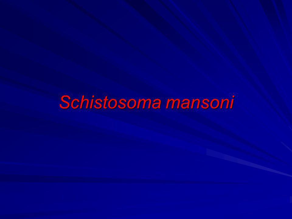 Schistosoma mansoni EPIDEMIOLOGIA Ampla distribuição geográfica (África, Antilhas e Ampla distribuição geográfica (África, Antilhas e América do Sul) América do Sul) Idade (faixa etária mais jovem) Idade (faixa etária mais jovem) Meio ambiente favorável (temperatura e luminosidade) Meio ambiente favorável (temperatura e luminosidade) Susceptibilidade do molusco (Biomphalaria) Susceptibilidade do molusco (Biomphalaria) Presença de pessoas Infectadas eliminando ovos Presença de pessoas Infectadas eliminando ovos viáveis nas fezes.