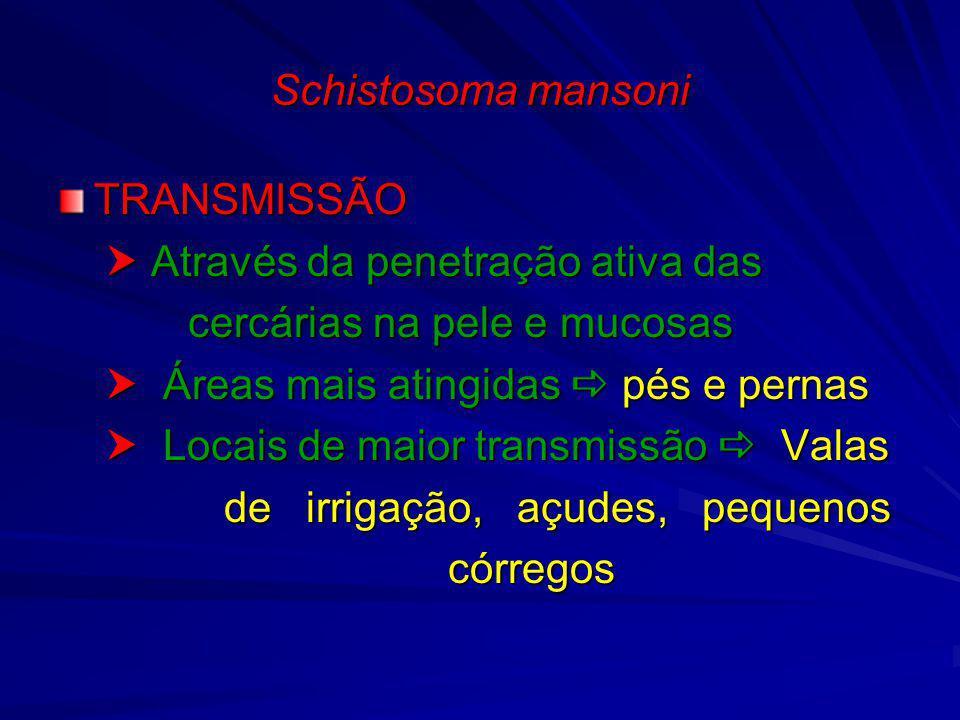 Schistosoma mansoni TRANSMISSÃO Através da penetração ativa das Através da penetração ativa das cercárias na pele e mucosas cercárias na pele e mucosa