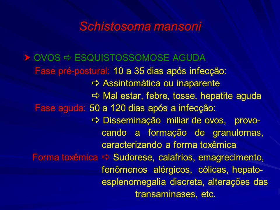 Schistosoma mansoni OVOS ESQUISTOSSOMOSE AGUDA OVOS ESQUISTOSSOMOSE AGUDA Fase pré-postural: 10 a 35 dias após infecção: Fase pré-postural: 10 a 35 di