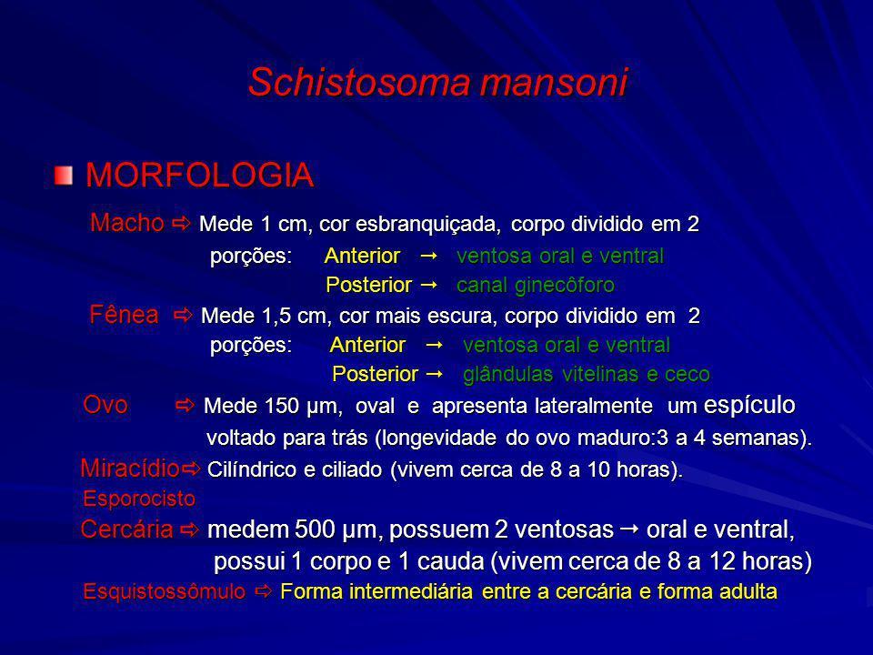 Schistosoma mansoni MORFOLOGIA Macho Mede 1 cm, cor esbranquiçada, corpo dividido em 2 Macho Mede 1 cm, cor esbranquiçada, corpo dividido em 2 porções