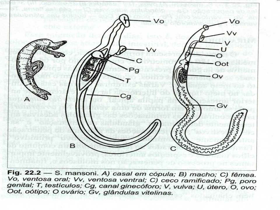Schistosoma mansoni HÁBITAT Vermes adultos Sistema porta intra-hepático Vermes adultos Sistema porta intra-hepático Acasalamento e postura Plexo hemorroidário Acasalamento e postura Plexo hemorroidário terminais da veia mesentérica inferior.