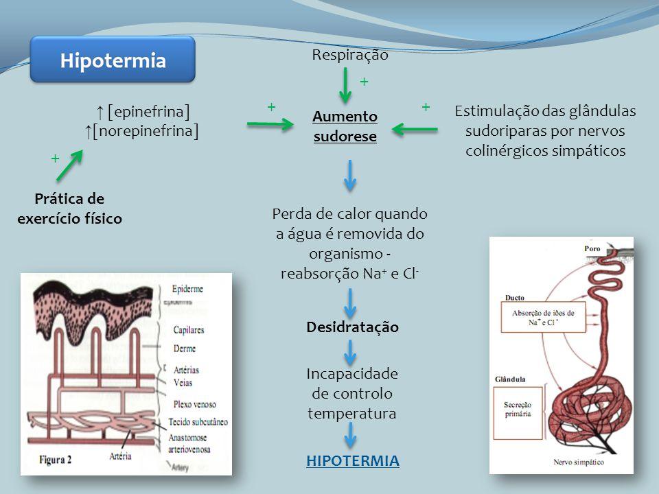 Prática de exercício físico Aumento sudorese [epinefrina] [norepinefrina] Estimulação das glândulas sudoriparas por nervos colinérgicos simpáticos Per
