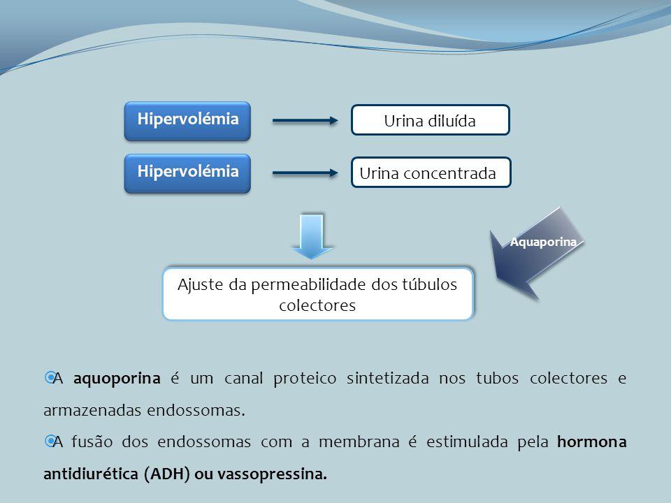 Urina diluída Urina concentrada Ajuste da permeabilidade dos túbulos colectores Aquaporina A aquoporina é um canal proteico sintetizada nos tubos cole