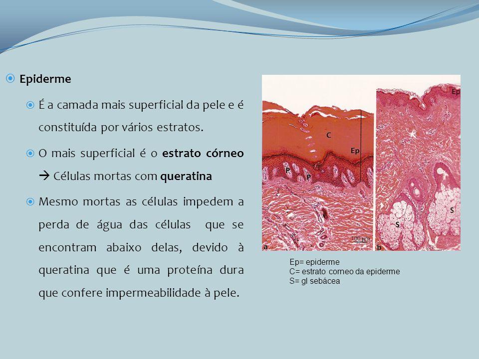 Epiderme É a camada mais superficial da pele e é constituída por vários estratos. O mais superficial é o estrato córneo Células mortas com queratina M