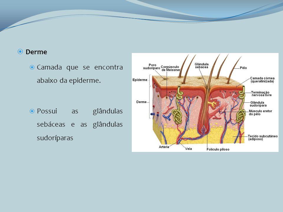 Derme Camada que se encontra abaixo da epiderme. Possui as glândulas sebáceas e as glândulas sudoríparas