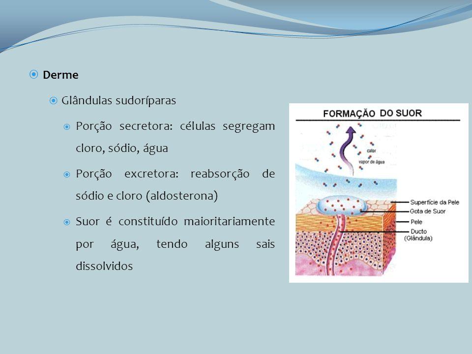 Derme Glândulas sudoríparas Porção secretora: células segregam cloro, sódio, água Porção excretora: reabsorção de sódio e cloro (aldosterona) Suor é c