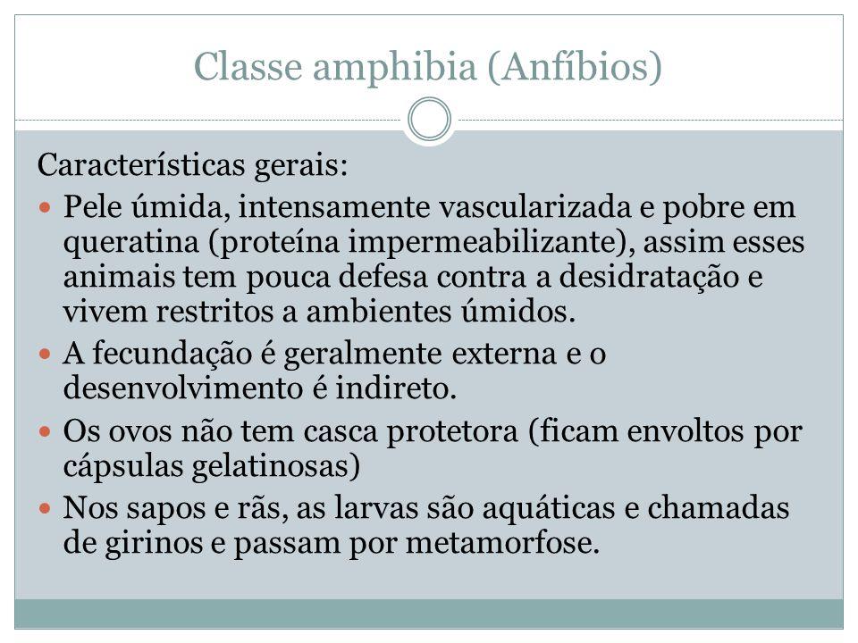 Classe amphibia (Anfíbios) Características gerais: Pele úmida, intensamente vascularizada e pobre em queratina (proteína impermeabilizante), assim ess